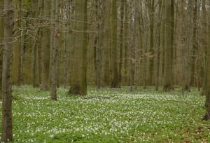 bosanemoon in Drentse bossen